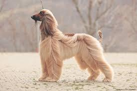 afghan hound kennel in australia news 2017 archives kharasahnsky afghan hounds