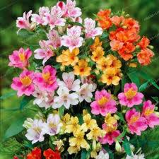 alstroemeria flower 100pcs alstroemeria seeds peruvian alstroemeria inca bandit