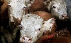 is the u0027humane u0027 killing of animals still wrong