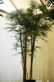 palms as house plants culture of palm houseplants the best palms