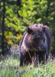 Hungry Bears Perishing On Western Montana Highways Local - yellowstone resources and issues handbook