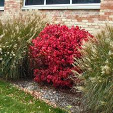 best 25 fast growing hedge plants ideas on privacy