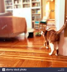an image of an orange and white cat in a home with hardwood floors