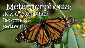 metamorphosis caterpillar to butterfly for children freeschool