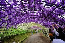 japan flower tunnel wisteria tunnel at the kawachi fuji gardens in kitakyushu japan