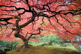 maple tree symbolism 5 of the most beautiful trees in the world