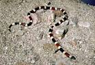 Western Coral Snake | Sensational Serpents sensationalserpents.com