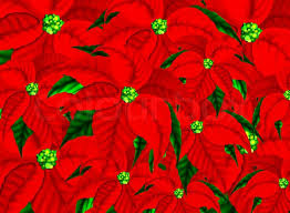 Christmas Flowers Christmas Poinsettia Flower Stock Photo Colourbox