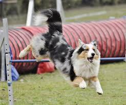 australian shepherd jumping 55 adorable australian shepherd dog images and pictures