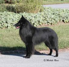 belgian sheepdog breeders uk indigo hill belgian sheepdogs u0026 tervuren photography
