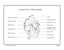 parts of the human body back female human heart coloring page