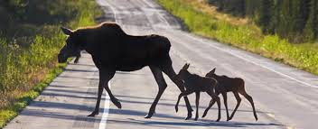 New Hampshire wildlife tours images Moose tours are popular in gorham nh royalty inn jpg