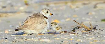 New Jersey Wildlife images Piping plovers return to new jersey beach after 25 years the jpg