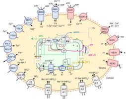 si e r ion rhone alpes ions channels transporters and chloroplast regulation sciencedirect
