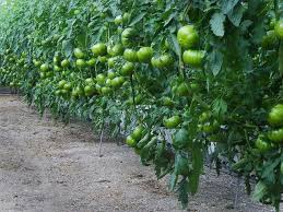 1766 best fruit fruit tree vegetable images