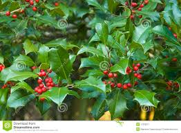 christmas holly branches background wallpaper royalty free stock