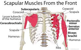 Anatomy Of Body Muscles Scapula Shoulder Blade Anatomy Muscles Location Function