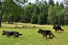 belgian shepherd ontario breeders contact german shepherd breeder for your german shepherd puppy in