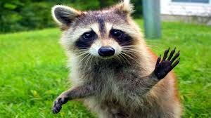 10 funniest raccoon videos youtube