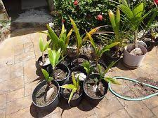 lytocaryum weddellianum mini coconut palm live tree ebay