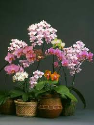 Orchid Cut Flowers - american orchid society phalaenopsis for beginners