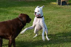 boxer dog mean 12 things you didn u0027t know about boxers u2013 iheartdogs com