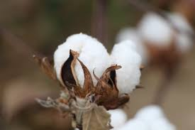 cotton flowers cotton plant 101 what do a cotton plant blooms bolls look like