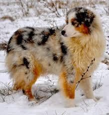 australian shepherd needs 161 best australian shepherd images on pinterest animals