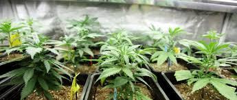 best light for weed seedlings best artificial light source for marijuana clones and seedlings