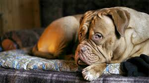 belgian malinois in movies dogue de bordeaux dog breed information pictures characteristics