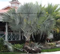palm trees south florida tropical palms for zones 10 11