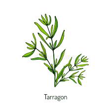 herbe cuisine estragon herbe aromatique de cuisine illustration de vecteur