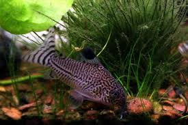freshwater tropical fish aquarium fish free wallpaper in