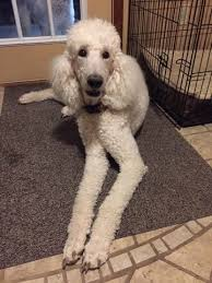 puppies indiana standard poodle puppies for sale in indiana puppies 3