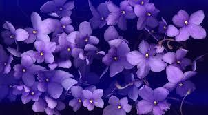 fiori viola fiori viola