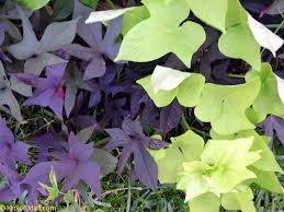sweet potato vine purple and lime green varieties use this as a