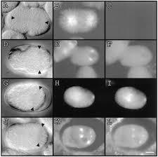 K Hen M El Genetic And Molecular Characterization Of The Caenorhabditis