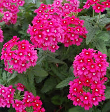 Long Blooming Annual Flowers - best 25 ground cover flowers ideas on pinterest ground covering