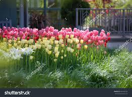 mn landscape arboretum tulip flower field blooming minnesota landscape stock photo
