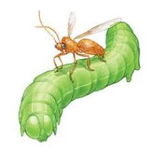 Gardening Pest Control - learning about the beneficial insects in your garden will make it