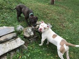 american pitbull terrier jaw no u201cpit bull u201d dogs don u0027t lock their jaws and other myth busting