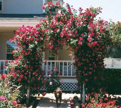 red rose rose trellis advice for your home decoration