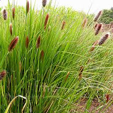 pennisetum seeds buttons ornamental grass seed