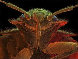 Wisconsin How Do Bed Bugs Travel images Bed bugs are picky about certain colors smart news smithsonian jpg