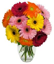 gerbera daisies gerbera daisies 10 stems at from you flowers