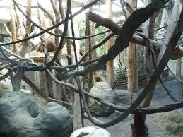 bentley orangutan woodland park zoo photo galleries zoochat