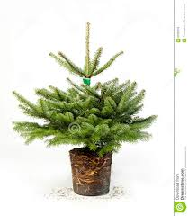 young green christmas tree with roots stock image image 63362703