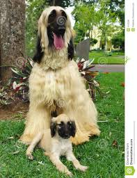 afghan hound sale afghan hound puppy and his dad royalty free stock photo image