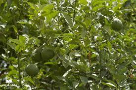 riyadh plants lemon