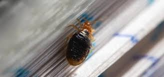 Can Bed Bugs Live On Cats Are There Bedbugs In Your Library Books Here U0027s How To Spot And